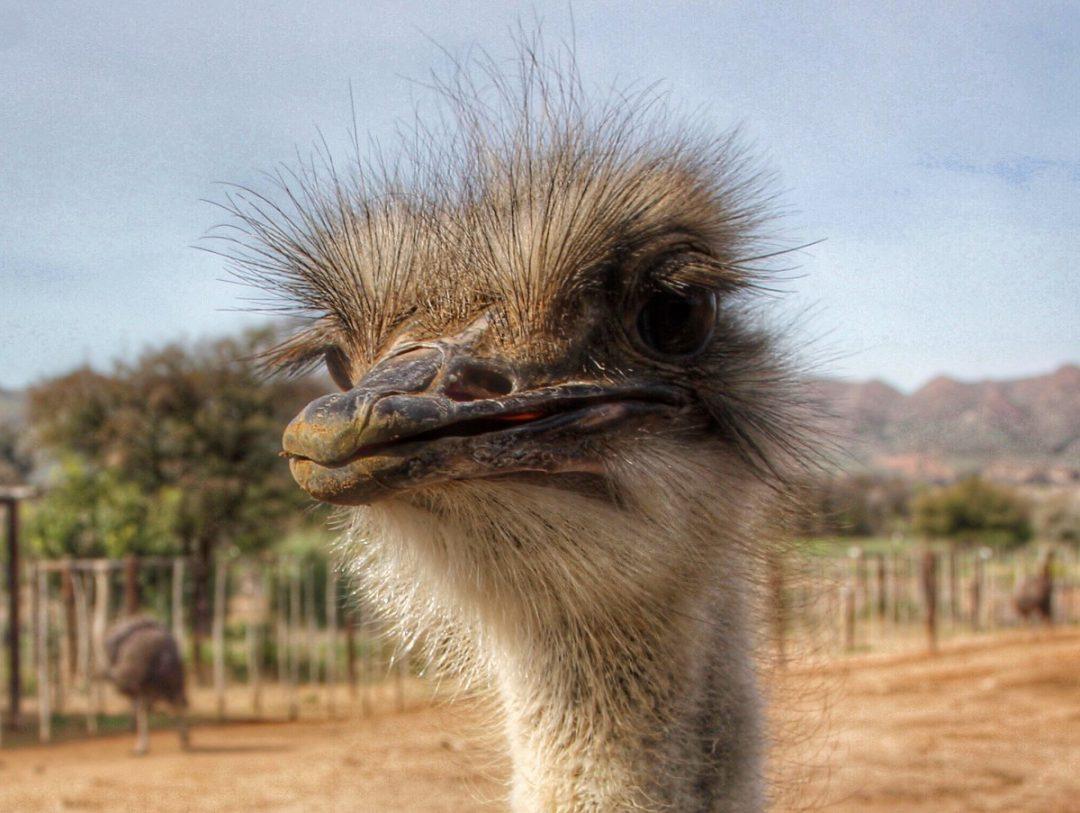 Safari Ostrich Farm – Oudtshoorn