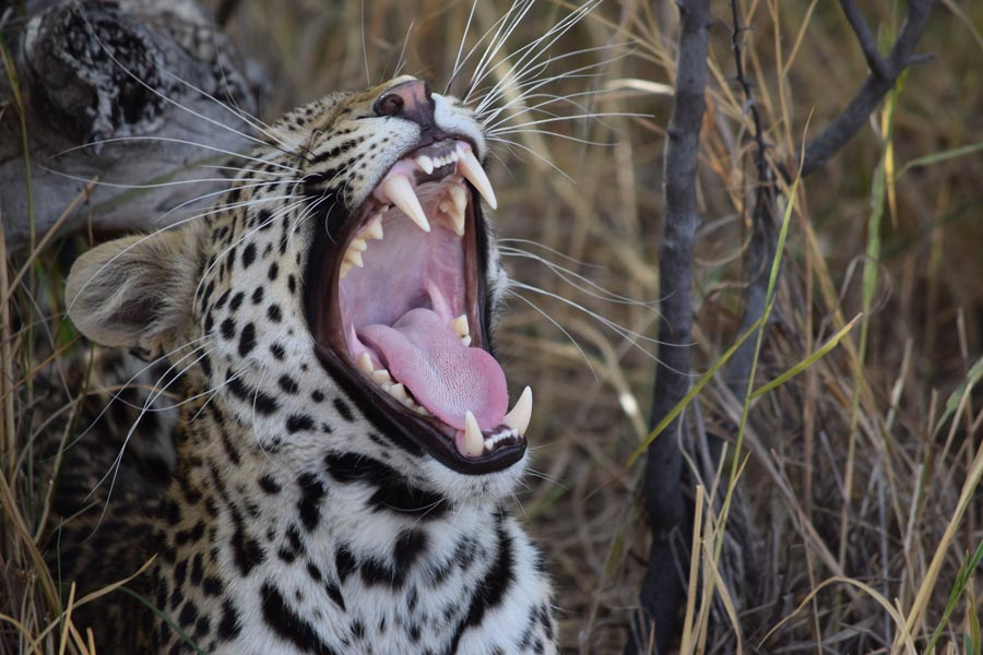 keeping your sanity, travel, blog, travelstart, botswana, leopard, africa, animals, adventure